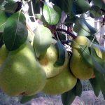 Peras y manzanas en finca de Aminga