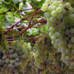 Parral de uva Torrontés