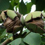 Apertura del pelón – maduración de la nuez