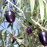 Aceitunas negras variedad Arauco