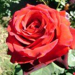 Rosa en jardín de La Aguada