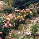 Rosales en finca La Aguada