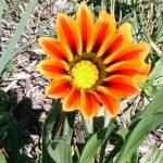 Flores silvestres en finca de Aminga